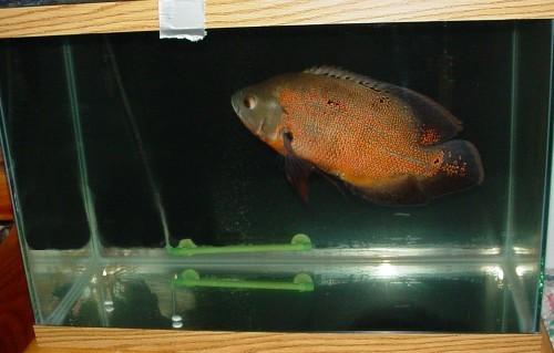 Full grown oscar fish - photo#13